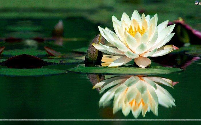 La meraviglia del fiore di loto